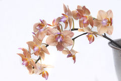 Fiori dell'orchidea di colore rosso arancione Immagine Stock