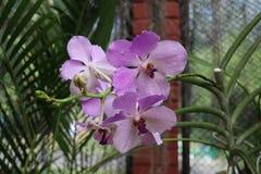 Fiori dell'orchidea in Sri Lanka fotografia stock
