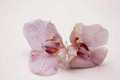 Fiori dell'orchidea su priorità bassa bianca Immagini Stock Libere da Diritti