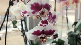 Fiori dell'orchidea su un davanzale della finestra stock footage