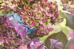 Fiori dell'ortensia che fioriscono nella caduta; immagine stock libera da diritti