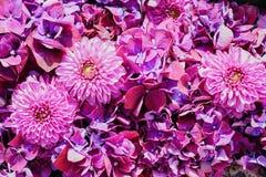 Fiori dell'ortensia e dell'aster Il bello rosa fiorisce il fondo Fotografie Stock Libere da Diritti