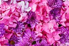 Fiori dell'ortensia e dell'aster Il bello rosa fiorisce il fondo Fotografia Stock Libera da Diritti