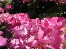 Fiori dell'ortensia - rosa fotografie stock libere da diritti