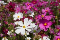 fiori dell'universo Fotografia Stock Libera da Diritti