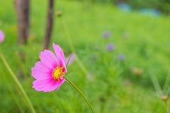 Fiori dell'universo, petali rosa, polline giallo su un fondo verde immagini stock