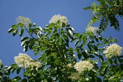Fiori della bacca di sambuco contro il cielo blu Fotografia Stock Libera da Diritti