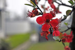 Fiori della begonia Fotografia Stock
