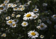 Fiori della camomilla e dell'erba verde nel giardino fotografia stock