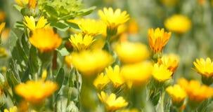 Fiori della camomilla gialla in brezza di estate archivi video