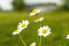 Fiori della camomilla sul fondo dell'erba fotografie stock libere da diritti