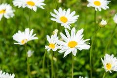 Fiori della camomilla un giorno di estate soleggiato Margherite di fioritura Fotografia Stock
