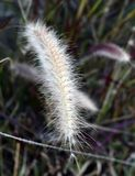 Fiori della canna dell'erba come le piume immagini stock libere da diritti