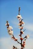 Fiori della ciliegia Immagine Stock