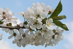 Fiori della ciliegia Immagini Stock Libere da Diritti