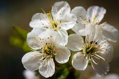 Fiori della ciliegia Fotografie Stock Libere da Diritti