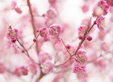Fiori della ciliegia Fotografia Stock