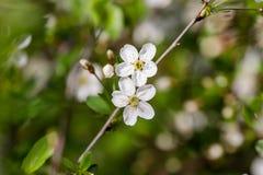 Fiori della ciliegia Fotografia Stock Libera da Diritti