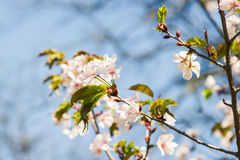 Fiori della ciliegia contro lo sfondo del cielo blu-chiaro Immagini Stock