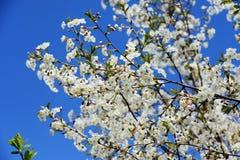 Fiori della ciliegia contro un cielo blu Immagini Stock