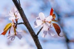 Fiori della ciliegia e foglie di rosso Fotografia Stock