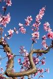 Fiori della ciliegia messi a fuoco morbidezza, molla Fotografia Stock