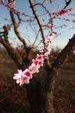 Fiori della ciliegia messi a fuoco morbidezza, molla Fotografie Stock Libere da Diritti
