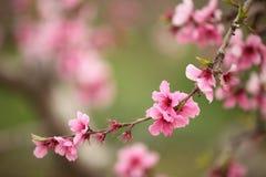 Fiori della ciliegia messi a fuoco morbidezza, molla Immagini Stock Libere da Diritti