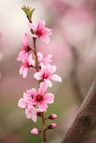 Fiori della ciliegia messi a fuoco morbidezza, molla Immagine Stock