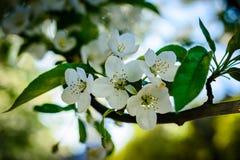 Fiori della ciliegia selvatica Immagine Stock Libera da Diritti