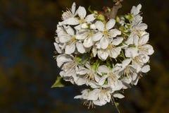 Fiori della ciliegia su fondo scuro immagini stock libere da diritti