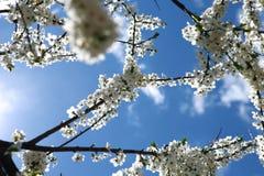 Fiori della ciliegia sul fondo del cielo blu Immagini Stock Libere da Diritti