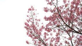Fiori della ciliegia sull'albero con fondo bianco stock footage