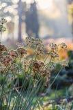 Fiori della cipolla in autunno Immagine Stock