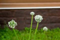 Fiori della cipolla bianca in primo piano del giardino Fotografia Stock Libera da Diritti