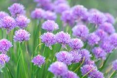 Fiori della cipolla della erba cipollina Fotografia Stock Libera da Diritti