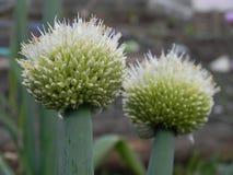 Fiori della cipolla nel giardino immagine stock