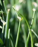 Fiori della cipolla verde in natura Fotografia Stock Libera da Diritti