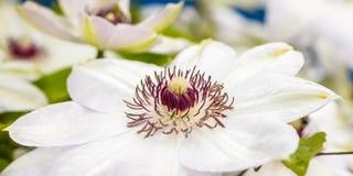 Fiori della clematide con i petali bianchi Fotografia Stock