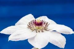 Fiori della clematide con i petali bianchi Immagini Stock Libere da Diritti