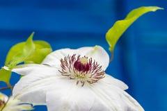 Fiori della clematide con i petali bianchi Immagine Stock Libera da Diritti