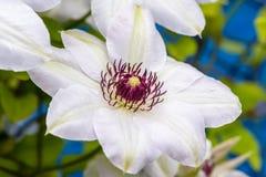 Fiori della clematide con i petali bianchi Fotografia Stock Libera da Diritti