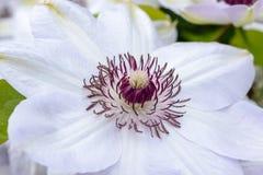 Fiori della clematide con i petali bianchi Fotografie Stock Libere da Diritti