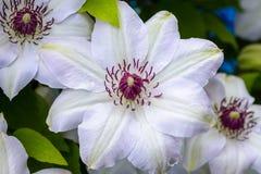 Fiori della clematide con i petali bianchi Immagine Stock