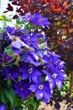 Fiori della clematide porpora fotografia stock