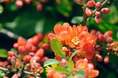 Fiori della cotogna giapponese (Chaenomeles) sull'arbusto fotografie stock