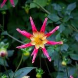 Fiori della dalia di Juuls Allstar in confine del giardino Immagini Stock Libere da Diritti