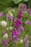 Fiori della digitale purpurea nel giardino, Hokkaido Immagine Stock
