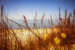 Fiori della duna Fotografie Stock Libere da Diritti