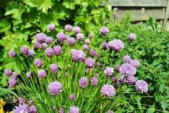 Fiori della erba cipollina Fotografia Stock